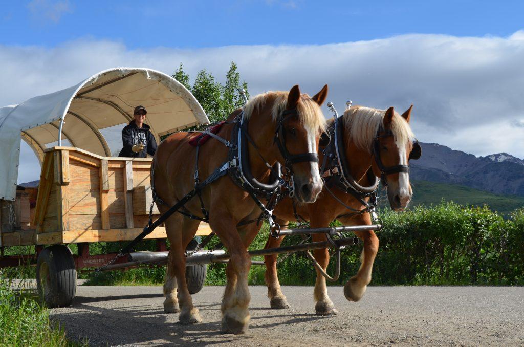 Black Diamond Draft Horse Drawn Covered Wagon Adventure